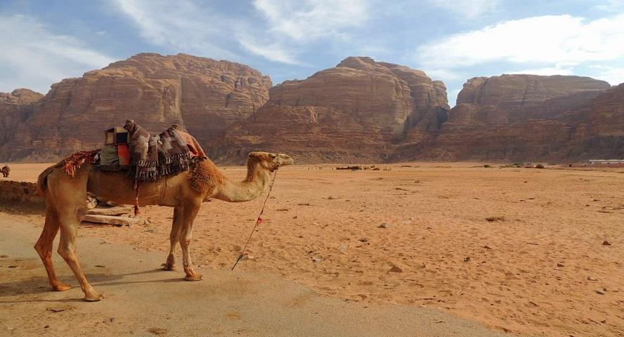 camello_jordania_rum