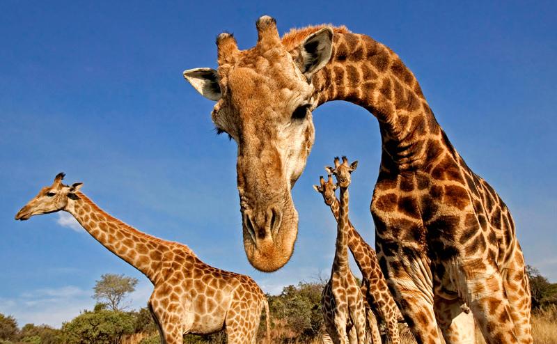 donde-viven-las-jirafas