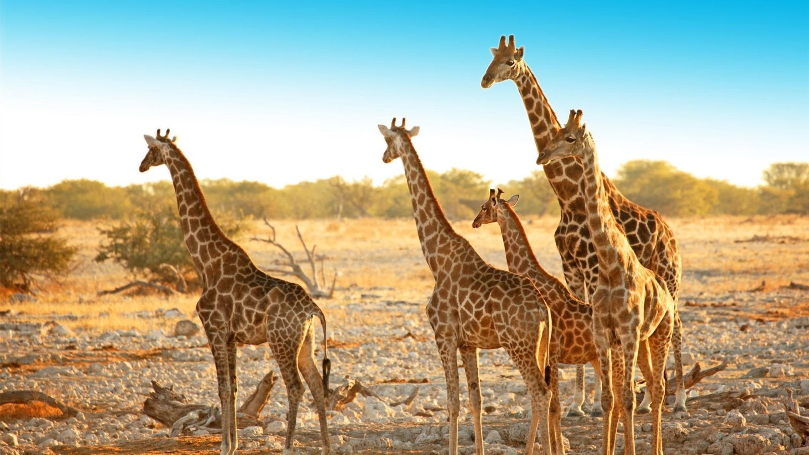 Giraffe-on-a-walking-safari-in-Etosha-Namibia-1600x900