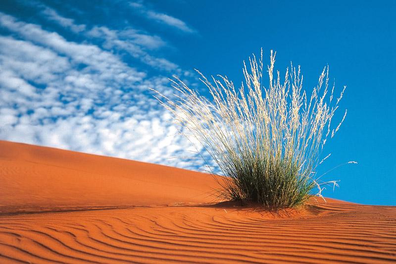 kalahari-desert-an-isolated-bush-growing-in-the-sand-dunes